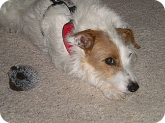 Jack Russell Terrier Dog for adoption in Ft. Collins, Colorado - Thor
