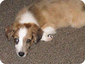 Australian Shepherd Mix Puppy for adoption in Naugatuck, Connecticut - Teak