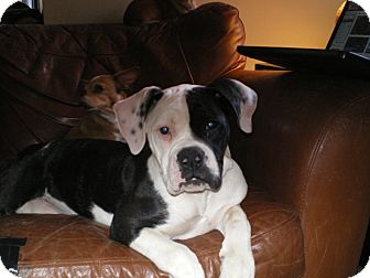 American Bulldog Puppy for adoption in Apex, North Carolina - Kelsey
