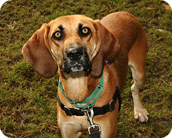 Hound (Unknown Type) Mix Dog for adoption in Bellingham, Washington - Bella
