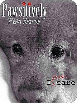 Pomeranian Dog for adoption in Harrisburg, Pennsylvania - FOSTER HOMES NEEDED
