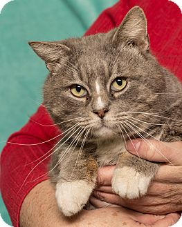 Domestic Shorthair Cat for adoption in Martinsville, Indiana - Chairman Meow