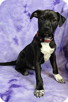 Rat Terrier Mix Puppy for adoption in Westminster, Colorado - Zachary