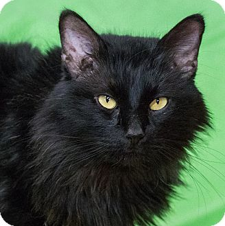 Domestic Mediumhair Cat for adoption in Calgary, Alberta - Galway