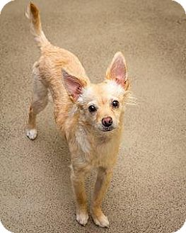 Pomeranian Mix Puppy for adoption in Bellingham, Washington - Sophie
