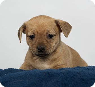 Dachshund/Chihuahua Mix Puppy for adoption in Nuevo, California - Hunter