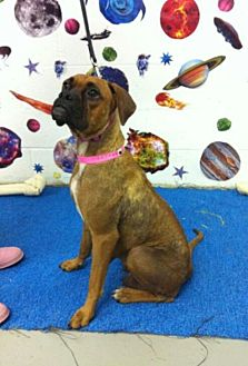 Boxer Dog for adoption in Austin, Texas - Munchkin