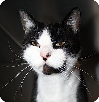 Domestic Shorthair Cat for adoption in North Branford, Connecticut - Oreo