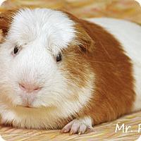 Adopt A Pet :: Mr. Piggy - Santa Barbara, CA