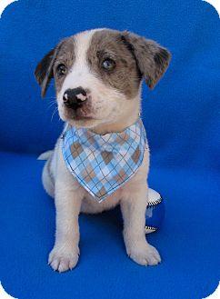 Australian Shepherd/Australian Cattle Dog Mix Puppy for adoption in Irvine, California - Lucky Day