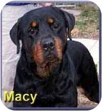 Rottweiler Dog for adoption in Aldie, Virginia - Macy