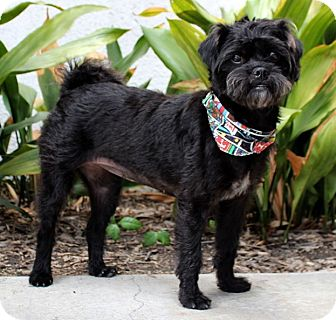 Affenpinscher/Terrier (Unknown Type, Small) Mix Dog for adoption in Encino, California - Sadie