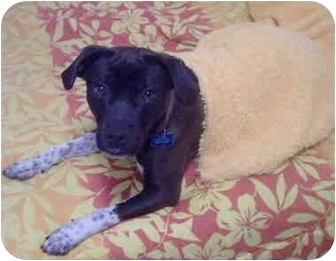 Terrier (Unknown Type, Medium)/Pug Mix Dog for adoption in Sacramento, California - Bing!