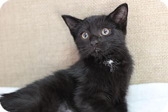 Domestic Shorthair Kitten for adoption in Midland, Michigan - Asheville - PICK YOUR PRICE