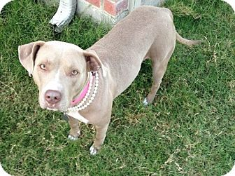American Pit Bull Terrier Mix Dog for adoption in Dallas, Texas - Hope