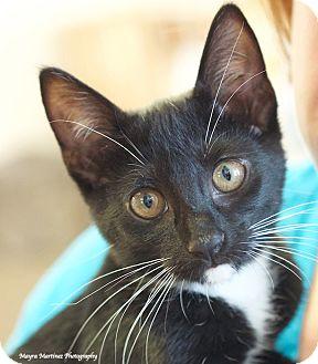 Domestic Shorthair Kitten for adoption in Nashville, Tennessee - Riley