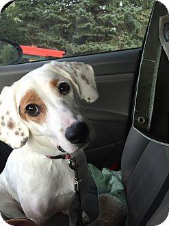 Hound (Unknown Type)/Terrier (Unknown Type, Medium) Mix Dog for adoption in waterbury, Connecticut - Dayzee