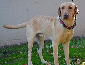 Labrador Retriever Dog for adoption in Clovis, California - Tony