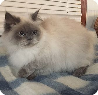 Himalayan Cat for adoption in Hampton, Virginia - Sofia