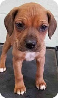 Terrier (Unknown Type, Medium) Mix Puppy for adoption in Hinsdale, Illinois - ADOPTED!!   Lennox