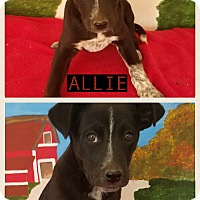 Adopt A Pet :: Allie in CT - East Hartford, CT