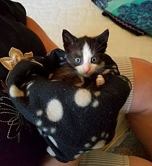 Domestic Shorthair Kitten for adoption in Toms River, New Jersey - Smalls