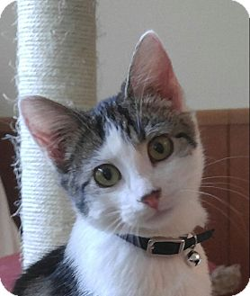 Domestic Mediumhair Kitten for adoption in Manhattan, Illinois - Missy