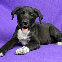 Adopt A Pet :: Carl - Westminster, CO