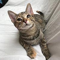 Adopt A Pet :: Belle - Santa Monica, CA