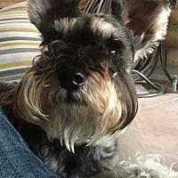 Adopt A Pet :: Ozzie - Redondo Beach, CA