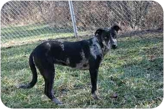 Pointer Mix Dog for adoption in Saint Charles, Missouri - Gypsy