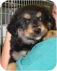 Shepherd (Unknown Type)/Labrador Retriever Mix Puppy for adoption in Hammonton, New Jersey - Allisa