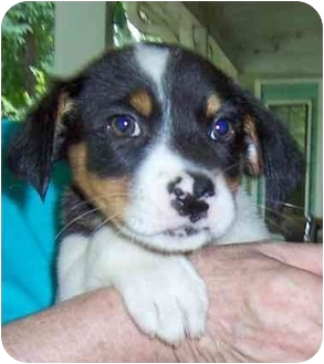 Border Collie/Cocker Spaniel Mix Puppy for adoption in Olive Branch, Mississippi - Shirley Temple