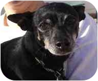 Chihuahua Mix Dog for adoption in Albuquerque, New Mexico - Suzzie