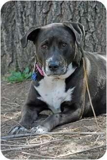Labrador Retriever/Australian Cattle Dog Mix Dog for adoption in Lakewood, Colorado - Dee Dee
