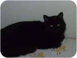 Domestic Longhair Cat for adoption in Hamburg, New York - Marzipan