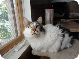 Manx Cat for adoption in Kingston, Washington - Mr. Bob