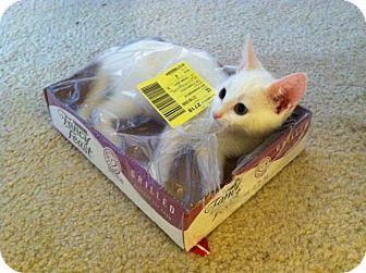 Domestic Longhair Kitten for adoption in Atlanta, Georgia - Georgiana Darcy