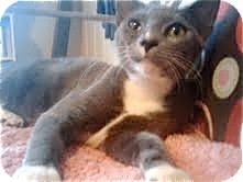 Domestic Shorthair Kitten for adoption in Houston, Texas - Iggy