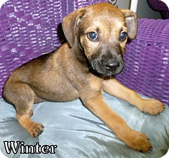Shepherd (Unknown Type) Mix Puppy for adoption in Georgetown, South Carolina - Winter