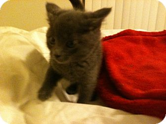 Russian Blue Kitten for adoption in Tracy, California - Saphon-ADOPTED!