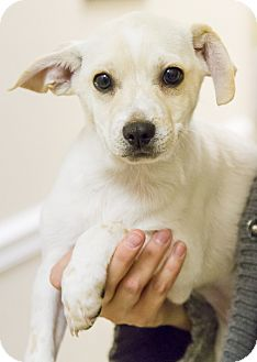 Chihuahua/Terrier (Unknown Type, Small) Mix Puppy for adoption in Dallas, Texas - BUTTERBALL