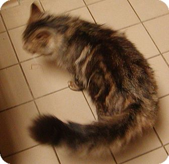Domestic Longhair Cat for adoption in Jackson, Michigan - Winston
