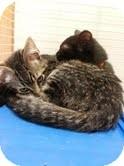 Domestic Shorthair Kitten for adoption in Madison, Wisconsin - Pallas