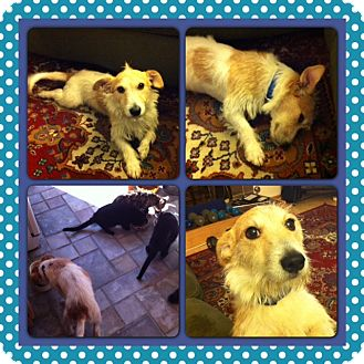 Jack Russell Terrier Dog for adoption in San Diego, California - Jack