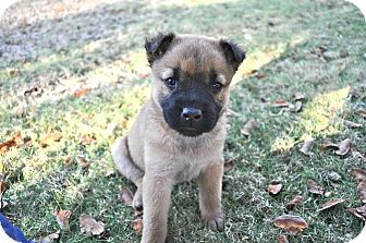 Shepherd (Unknown Type) Mix Puppy for adoption in Barnegat, New Jersey - Seoul