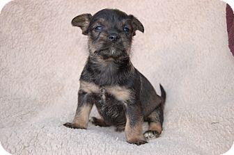 Schnauzer (Miniature) Mix Puppy for adoption in McCormick, South Carolina - Hoppy