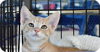 Domestic Shorthair Kitten for adoption in Temecula, California - Sweet Pea