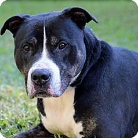 Adopt A Pet :: King - Port Washington, NY