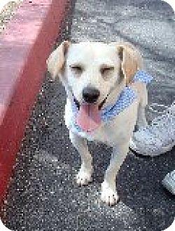Dachshund Mix Dog for adoption in Las Vegas, Nevada - Cooper